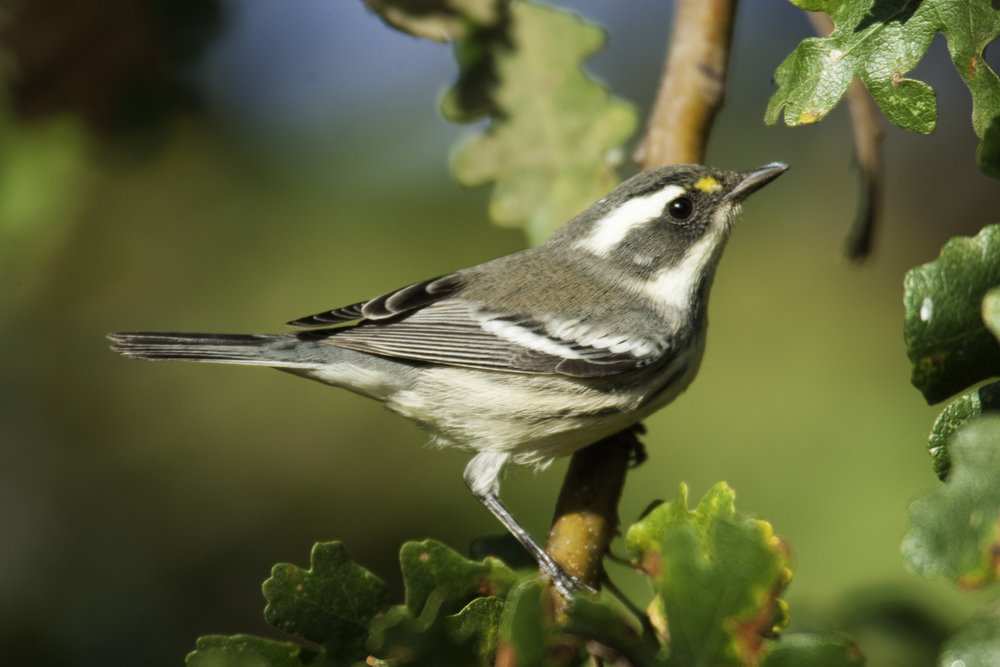 Black-throated Gray Warbler, female..雌性黑喉灰林莺