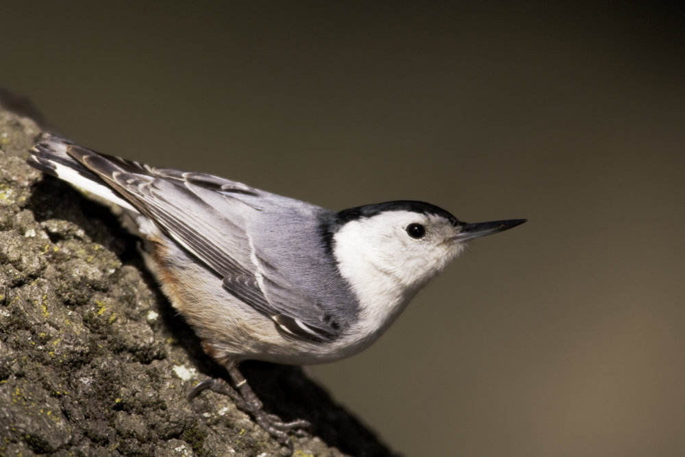 White-breasted Nuthatch..白胸