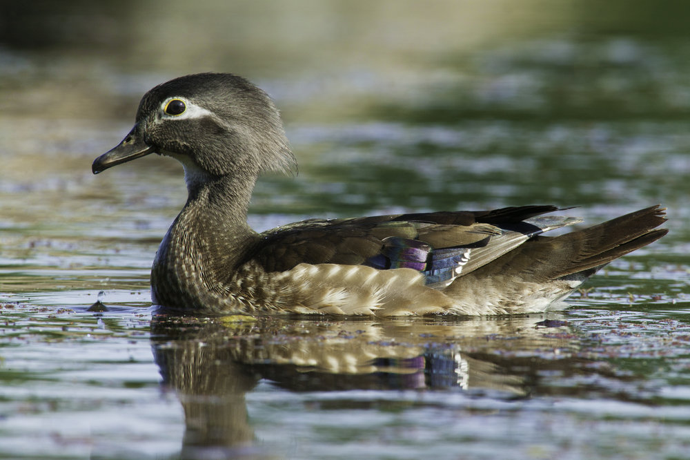 Wood Duck, female..雌性林鸳鸯