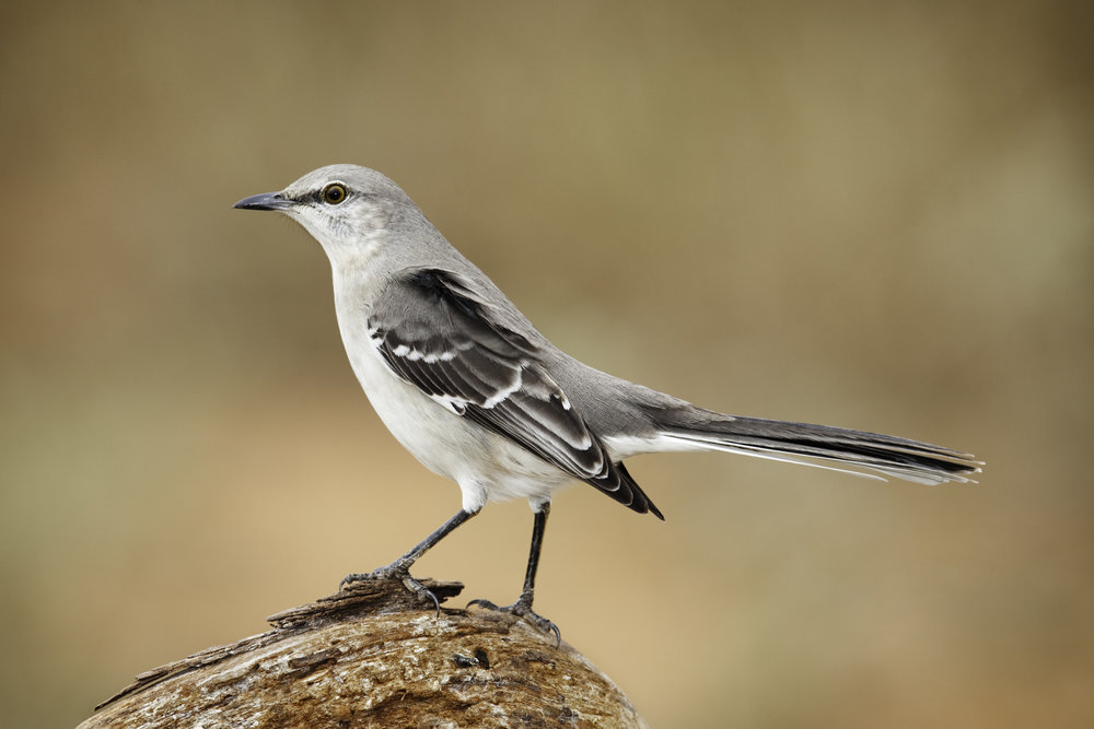 Northern Mockingbird..小嘲鸫