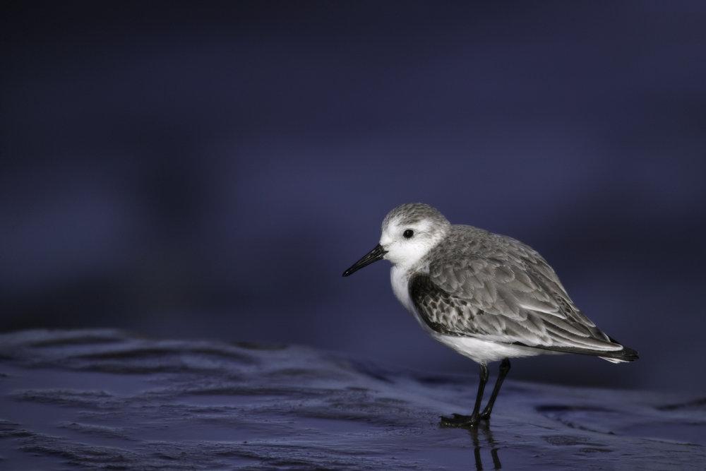 Sanderling..三趾滨鹬