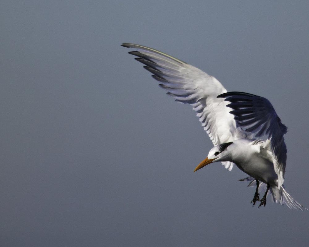 Royal Tern..橙嘴凤头燕鸥