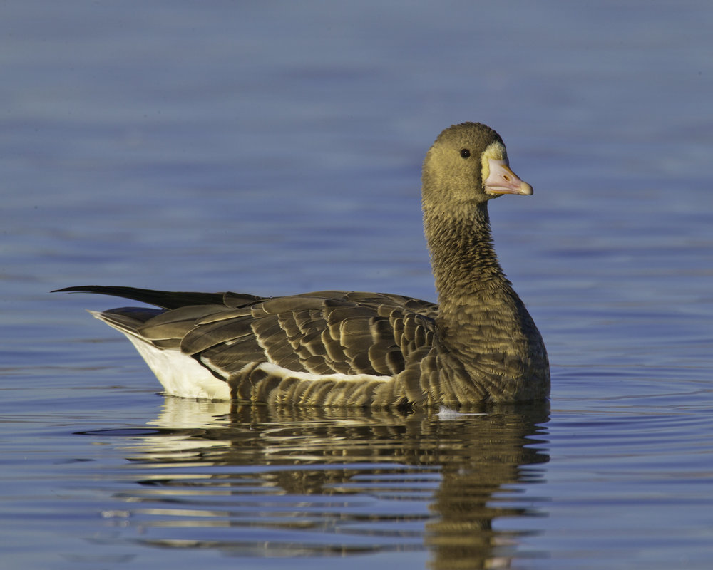 Greater White-fronted Goose..白额雁