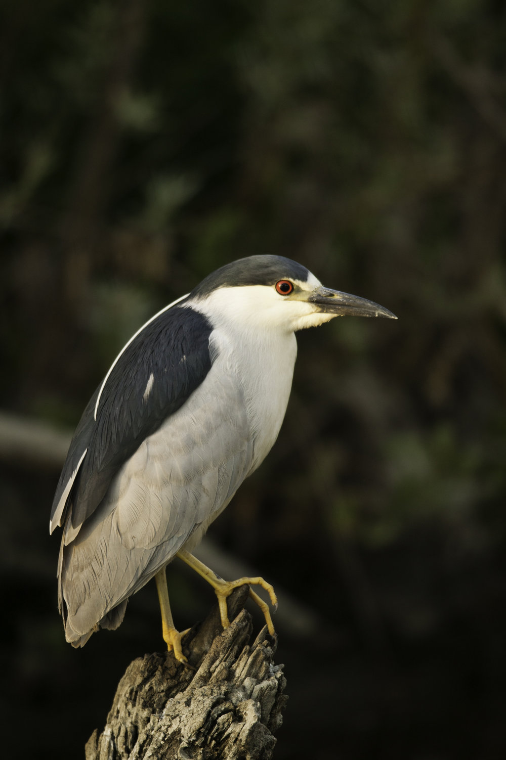 Black-crowned Night-Heron..夜鹭