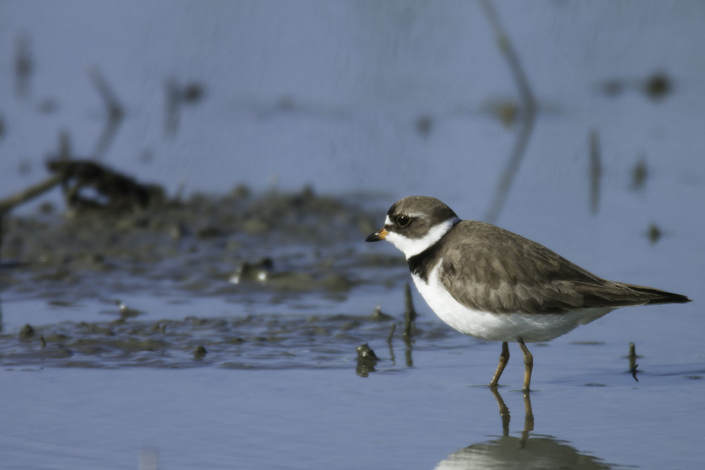 Semipalmated Plover..半蹼鸻