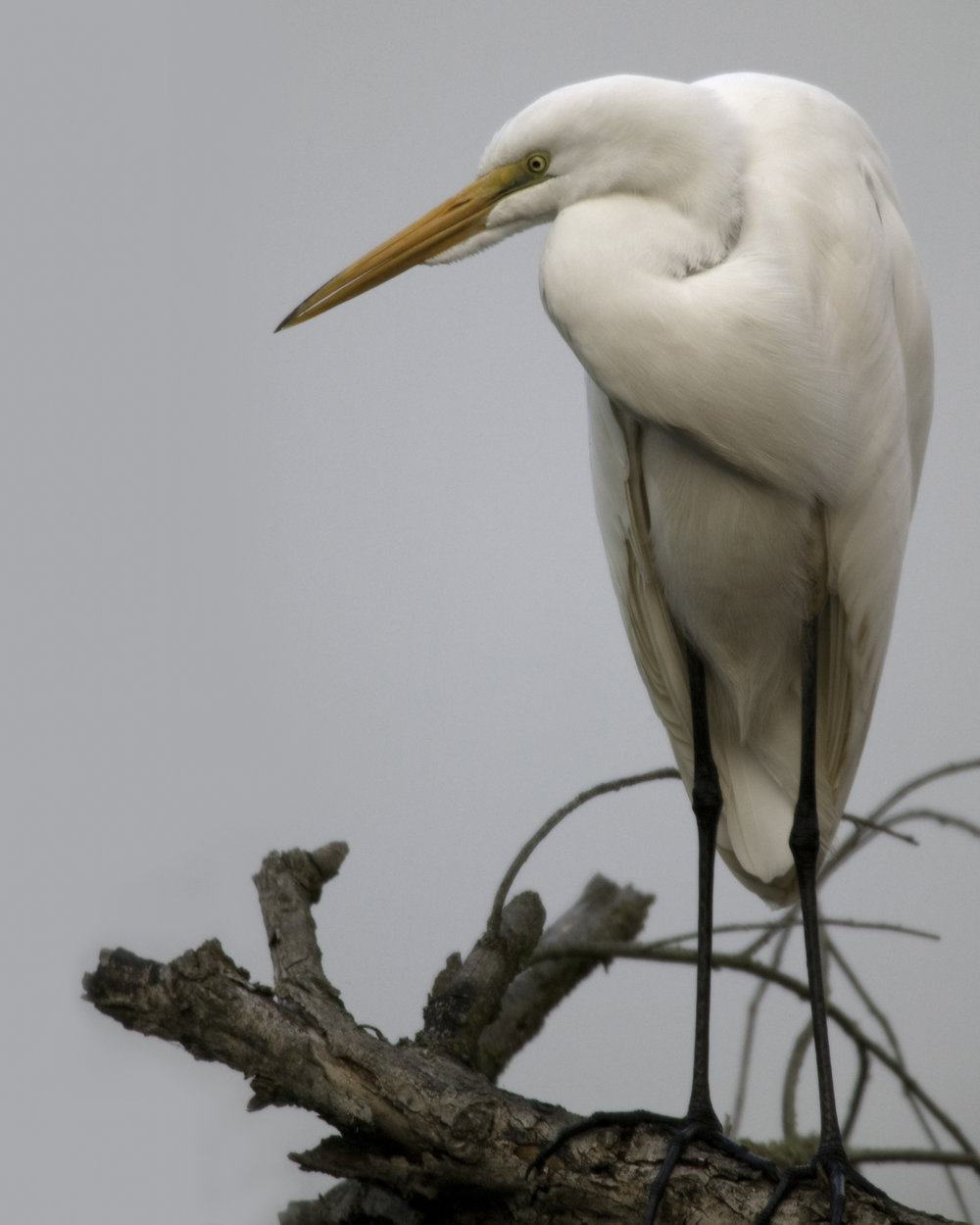 Great Egret..大白鹭