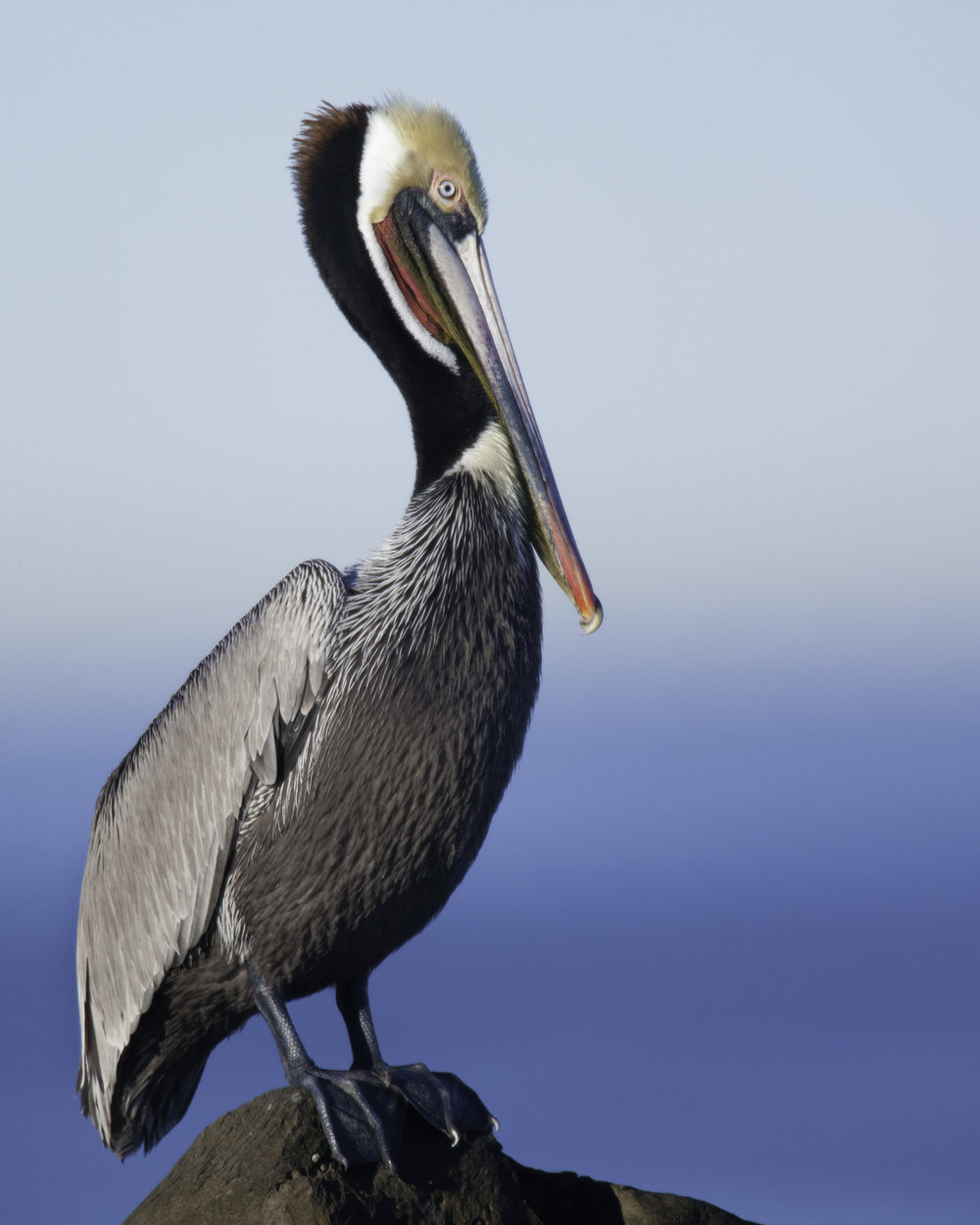 Brown Pelican (alternate plumage)..繁殖羽衣的褐鹈鹕