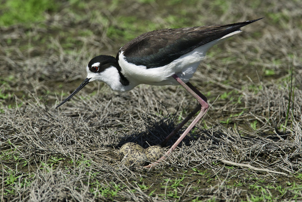 Black-necked Stilt..黑颈长脚鹬