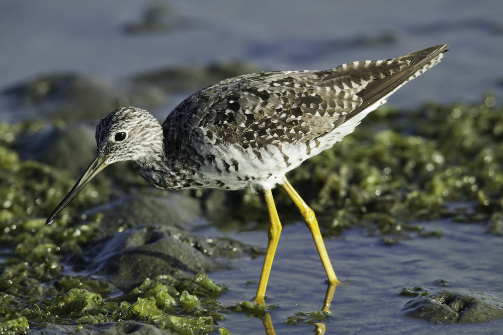 Greater Yellowlegs..大黄脚鹬