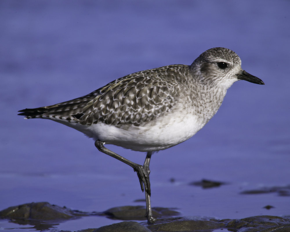 Black-bellied Plover..灰鸻