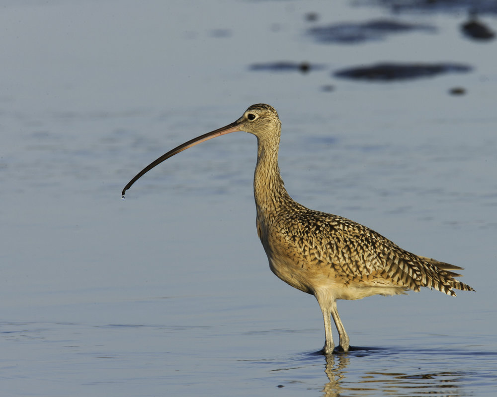 Long-billed Curlew..长嘴杓鹬