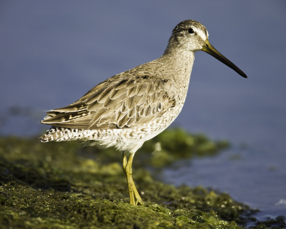Long-billed Dowitcher..长嘴半蹼鹬