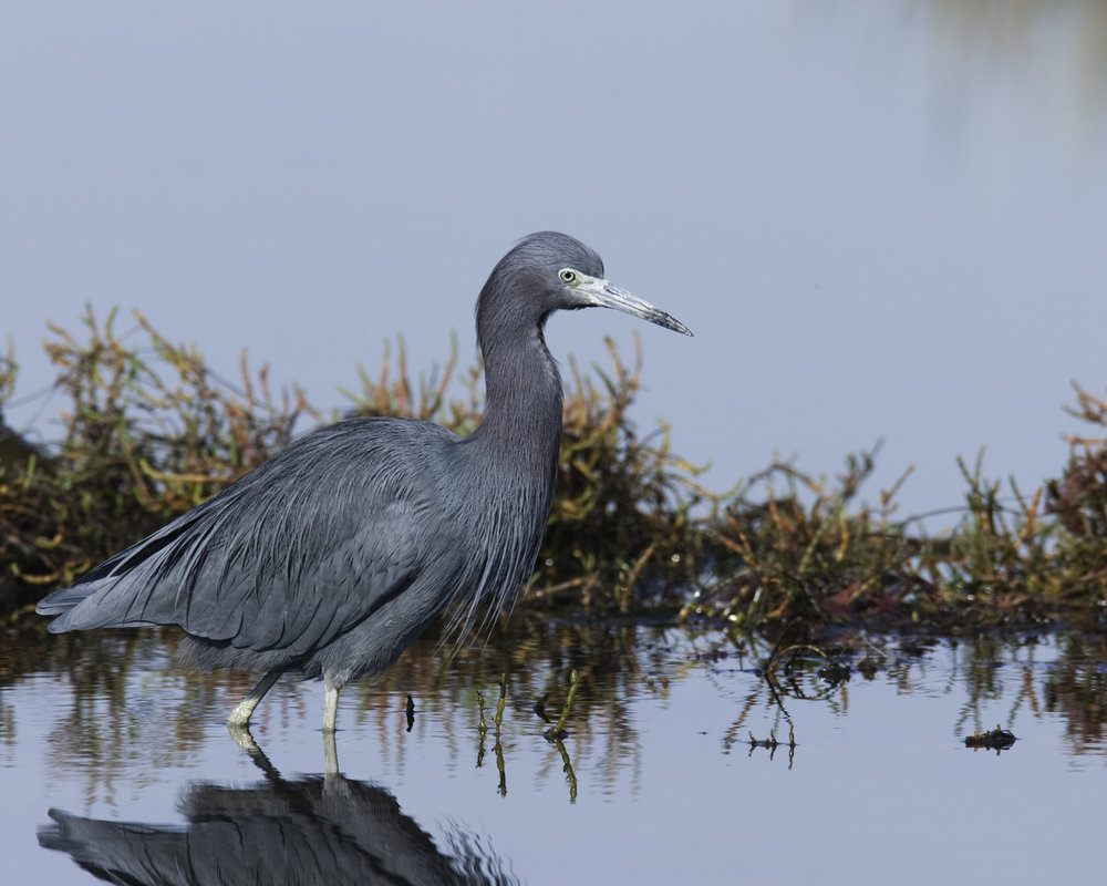 Little Blue Heron..小蓝鹭
