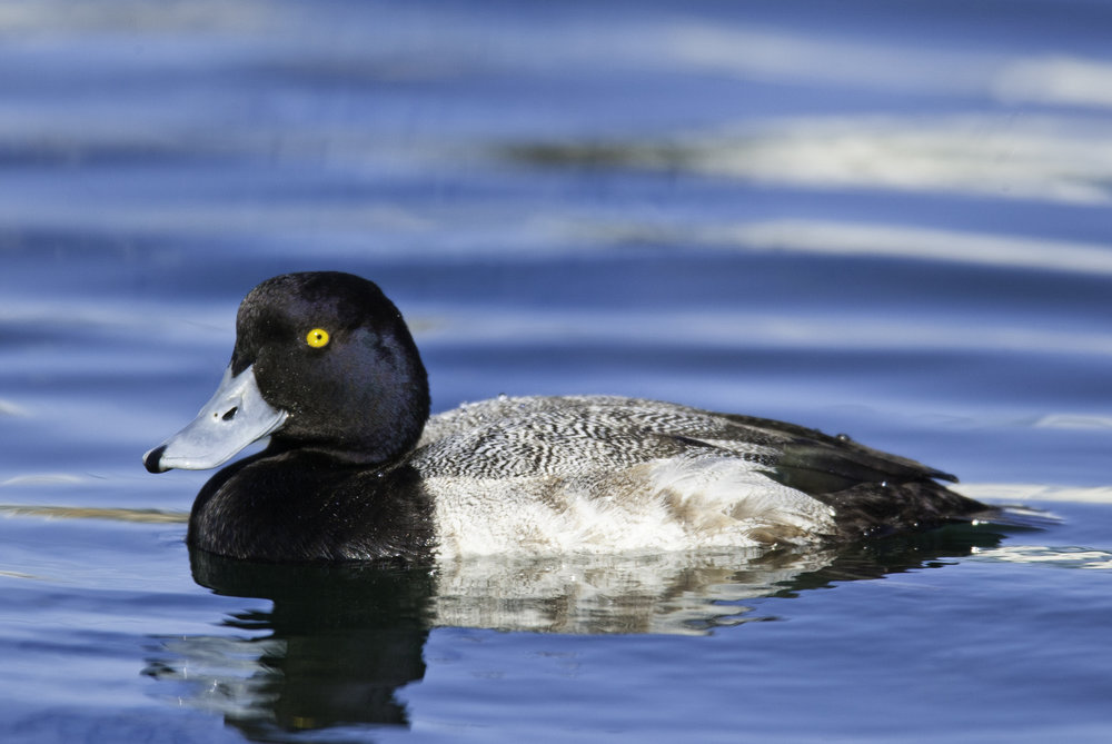 Greater Scaup, male..雄性斑背潜鸭