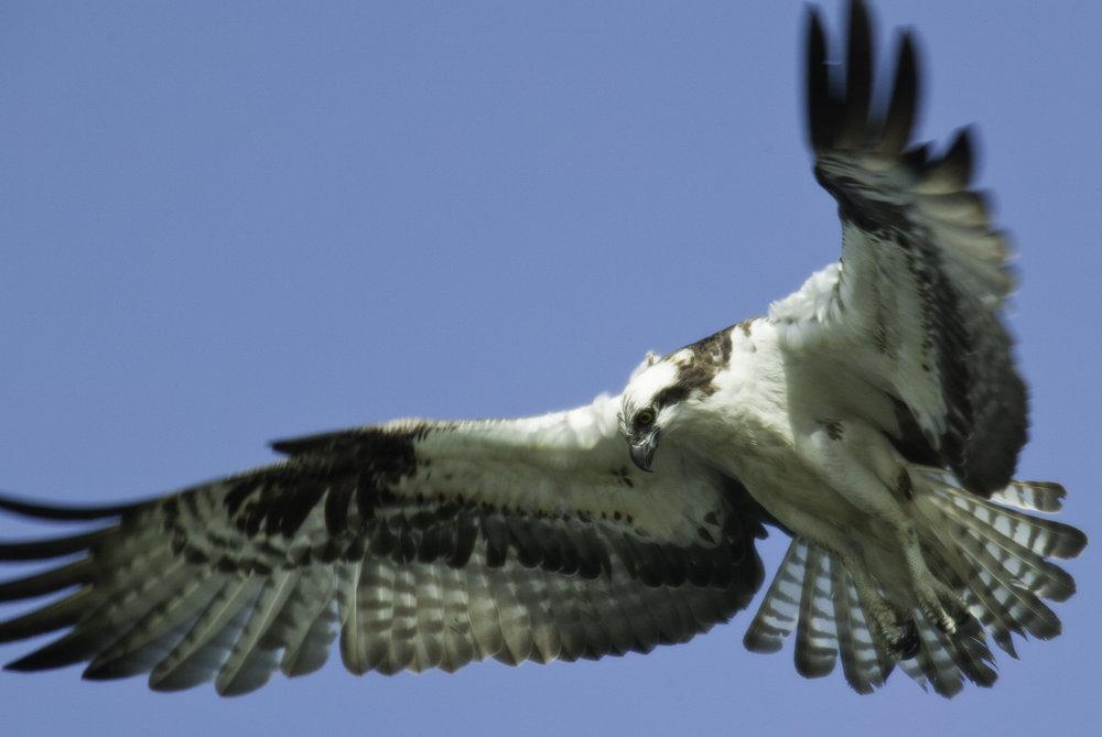 Osprey.. 鹗