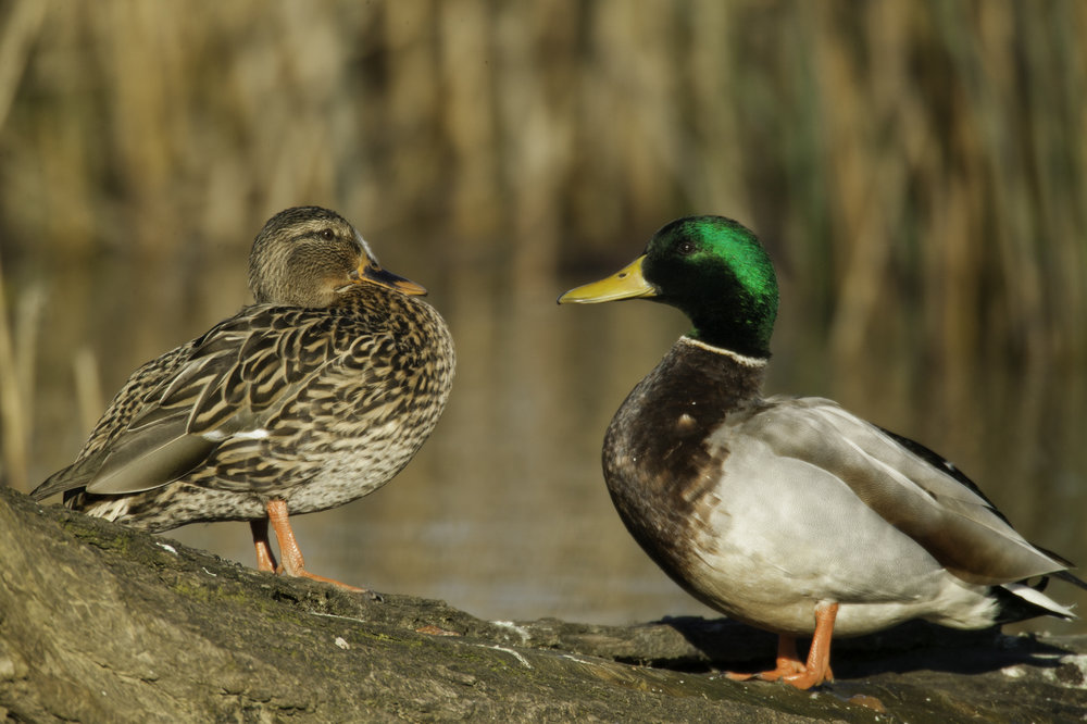 Mallard (female left, male right)..绿头鸭(雌性左,雄性右)