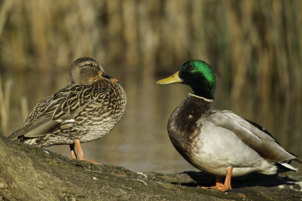 绿头鸭(雌性左,雄性右)