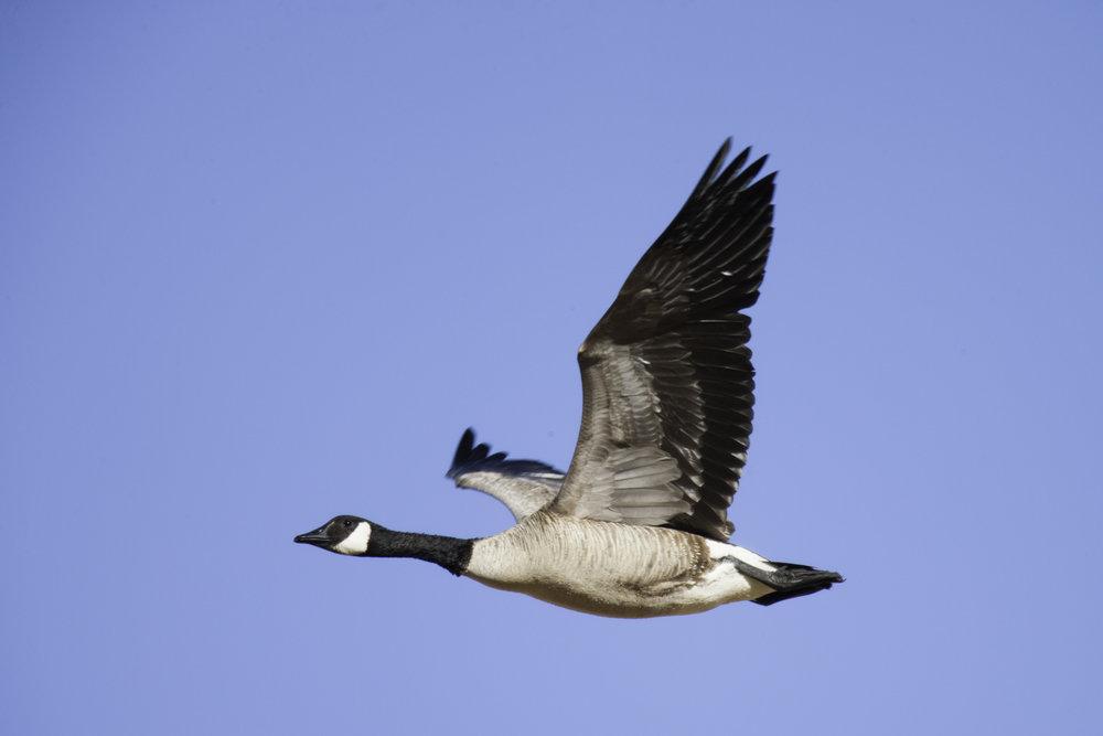 Canada Goose..加拿大黑雁