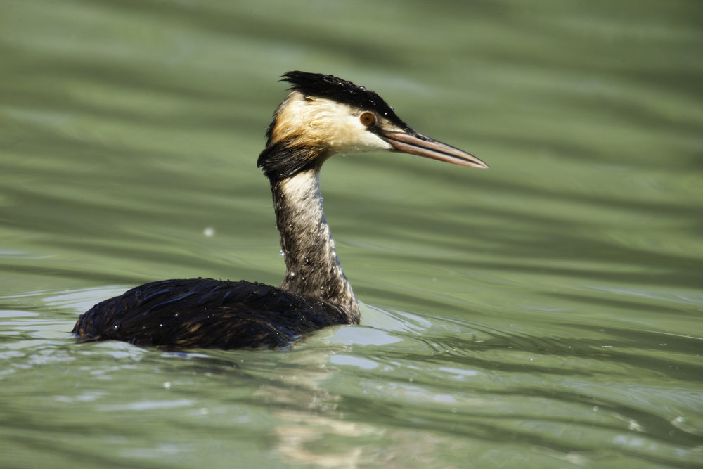 Great Crested Grebe..凤头
