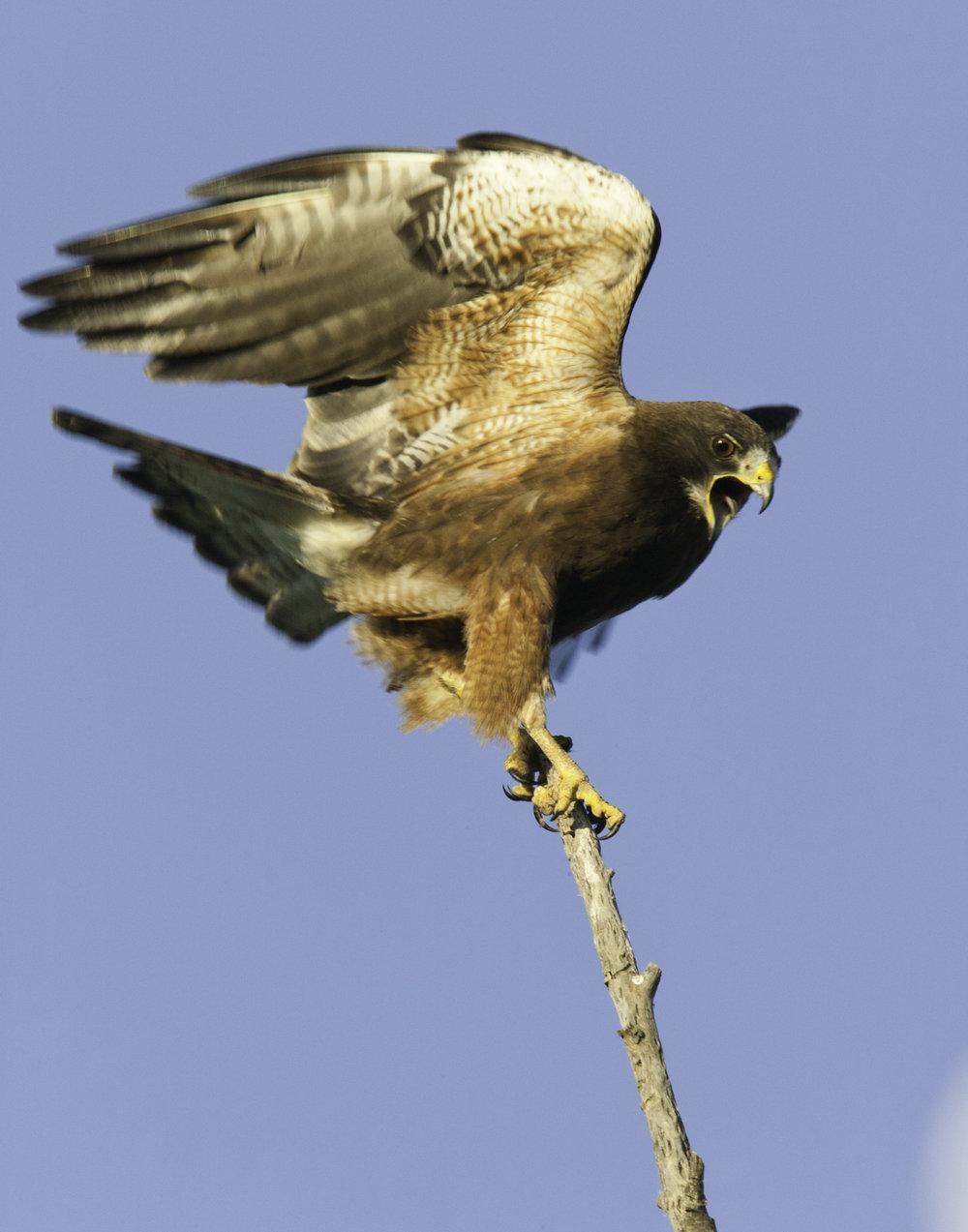 Swanson's Hawk..斯氏鵟