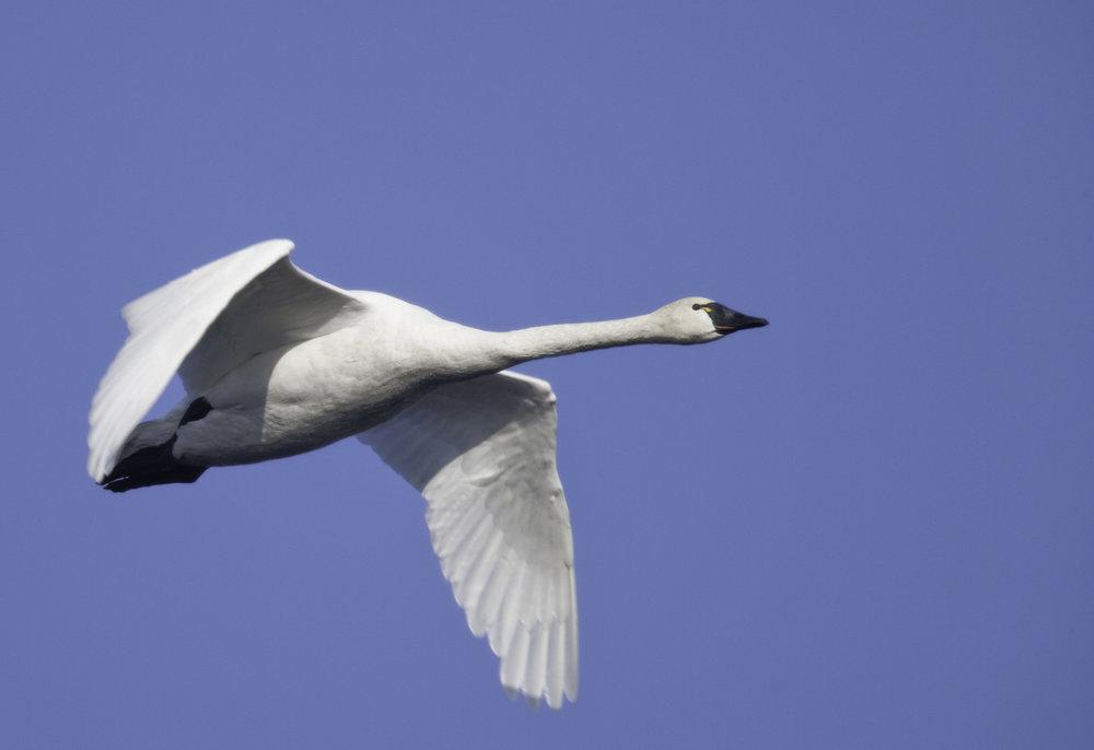 Tundra Swan..小天鹅