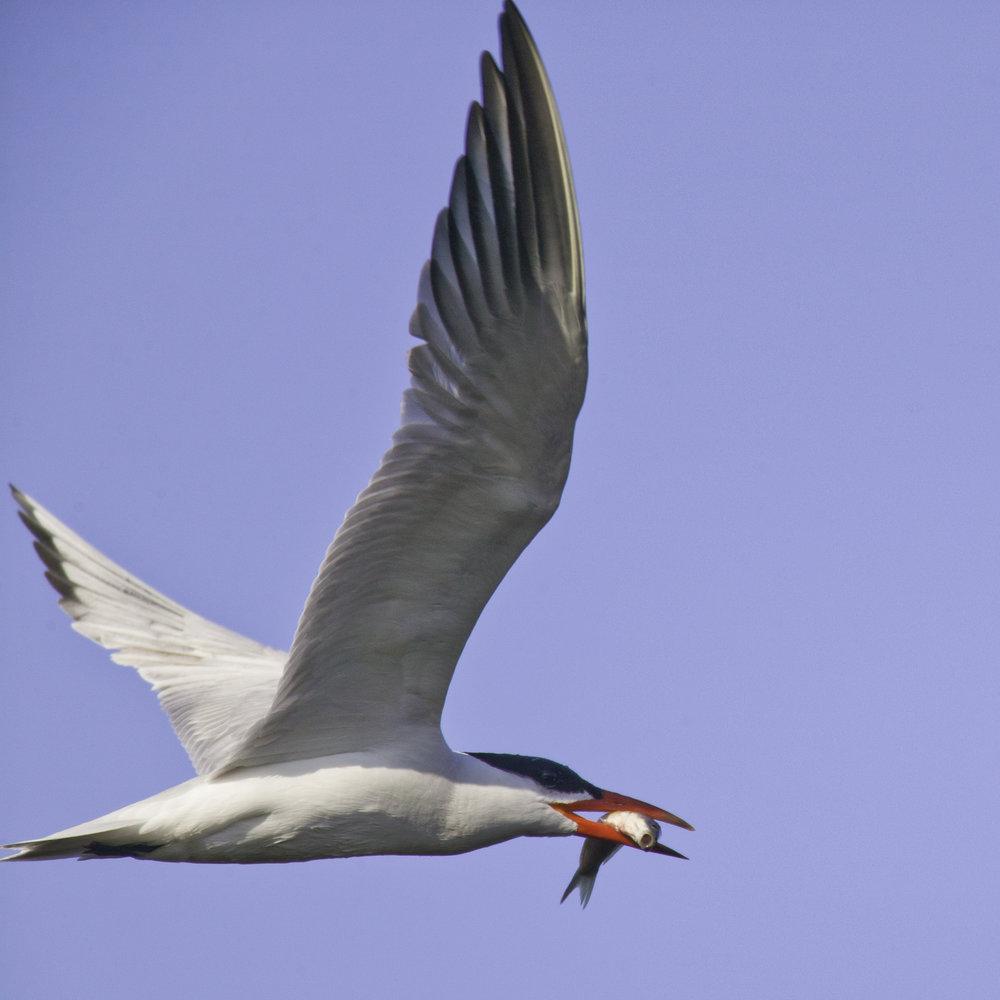 Caspian Tern..红嘴巨鸥