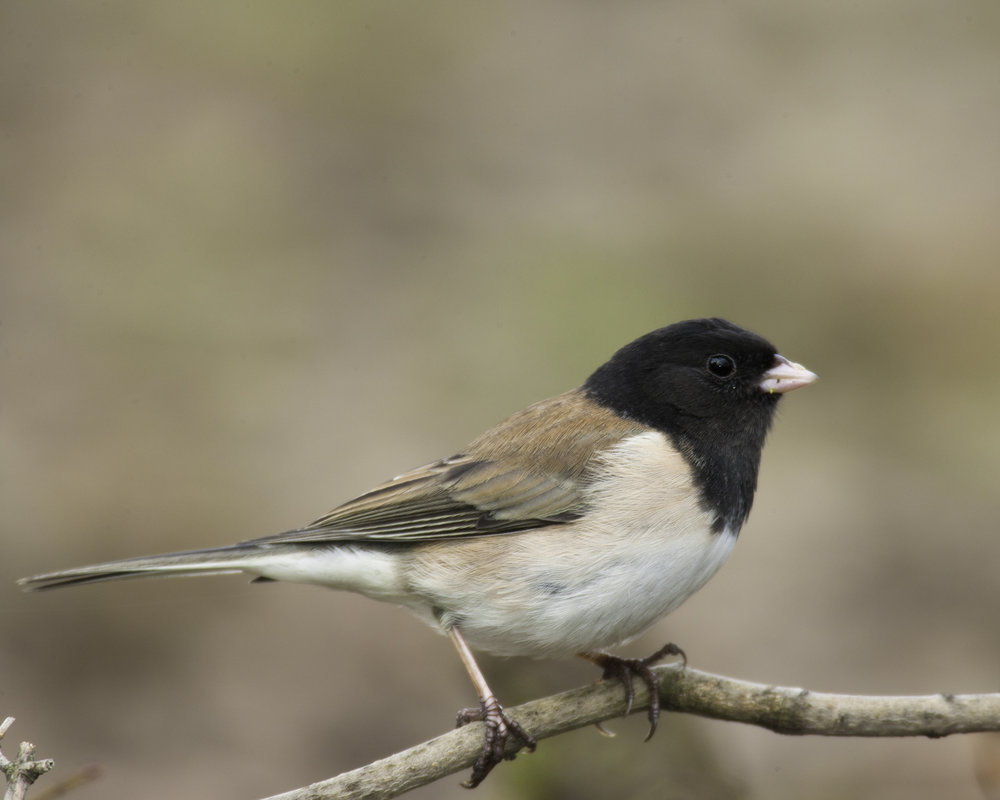 Dark-eyed Junco, male..暗眼灯草鹀
