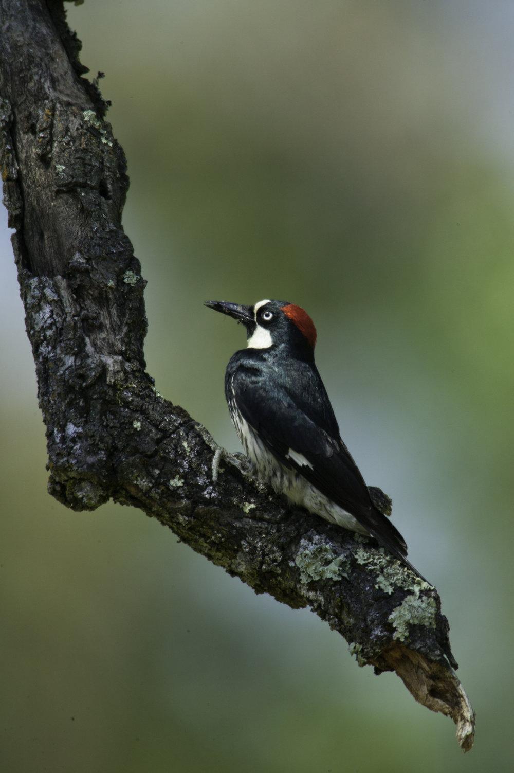 Acorn Woodpecker..橡树啄木鸟