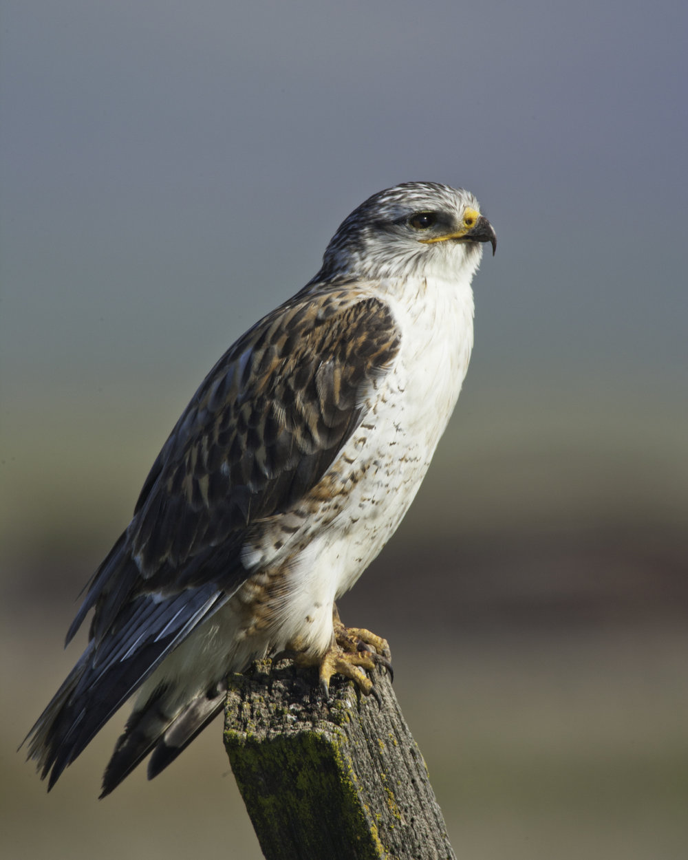 Ferruginous Hawk..王鵟