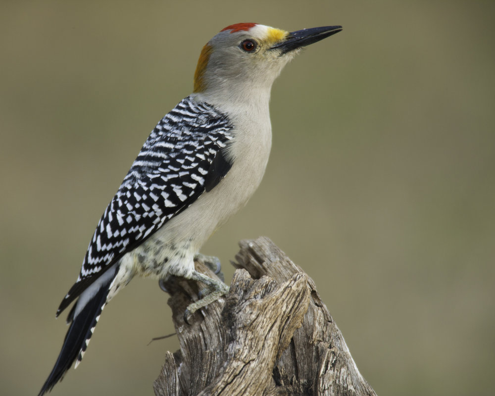 Golden-fronted Woodpecker..金额啄木鸟