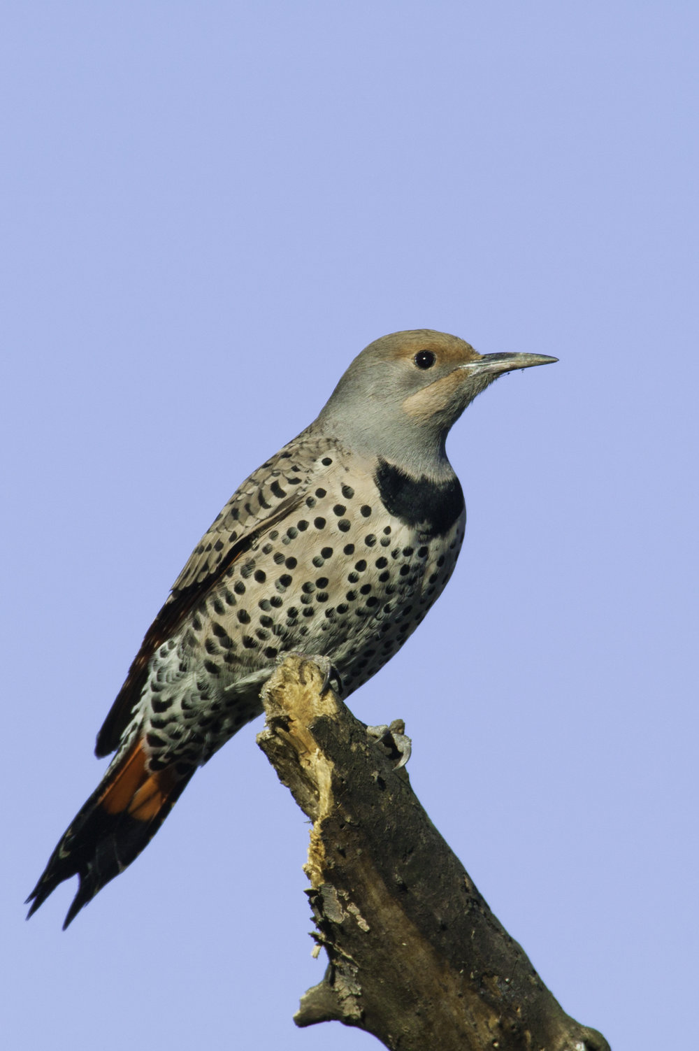 Northern Flicker..北扑翅鴷