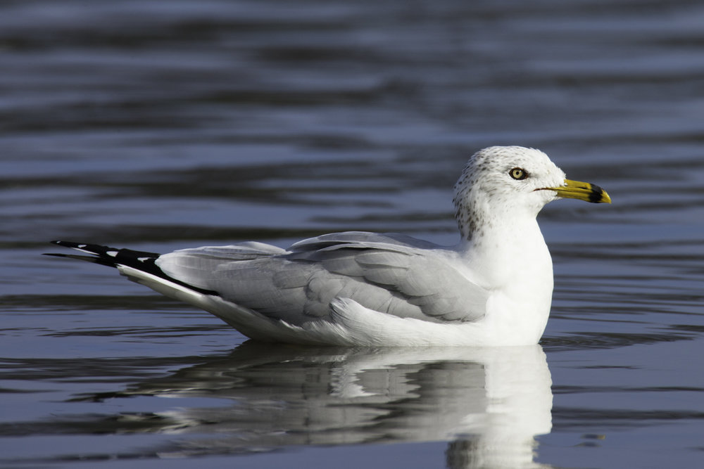Ring-billed Gull..环嘴鸥