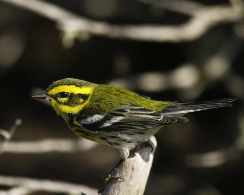 Townsend's Warbler..黄眉林莺