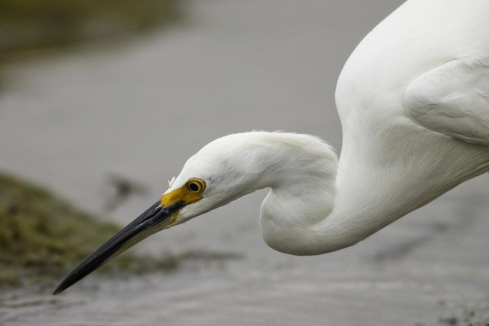 Snowy Egret..雪鹭
