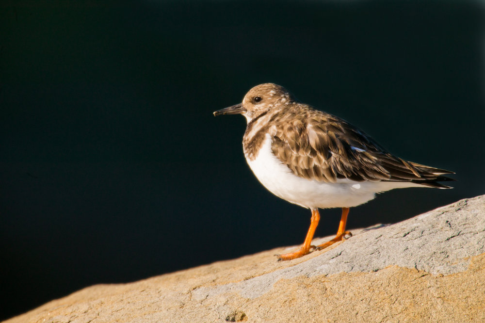 Ruddy Turnstone..翻石鹬