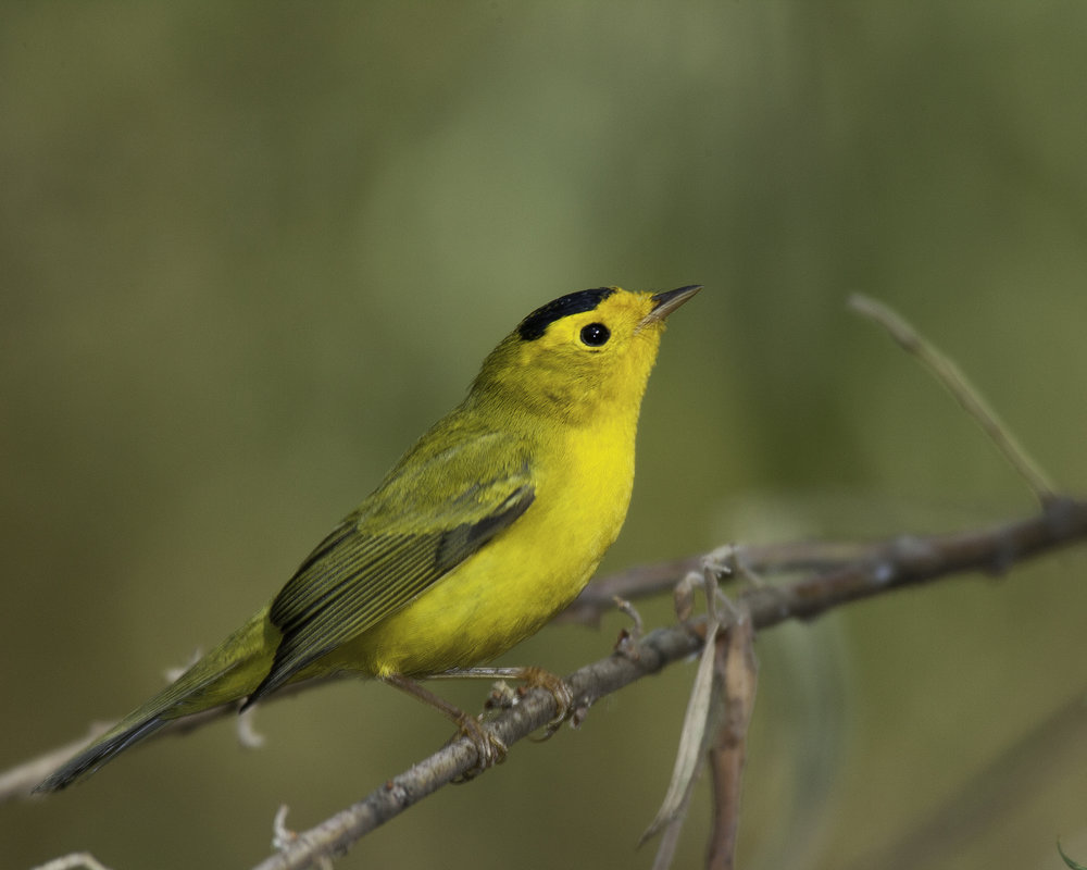 Male Wilson's Warbler..雄性黑头威森莺