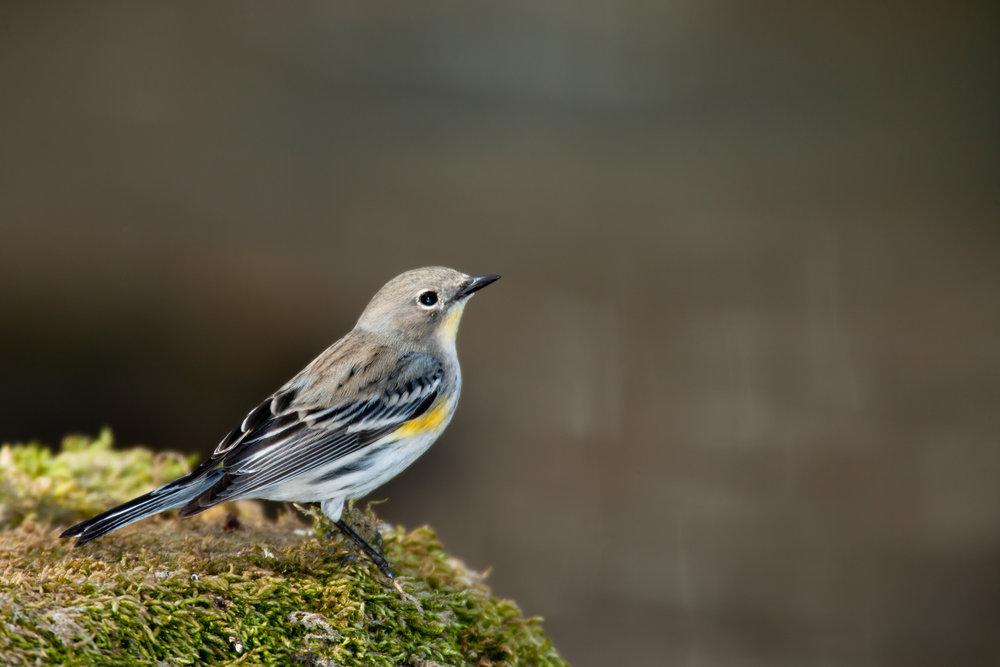Yellow-Rumped Warbler..黄腰林莺