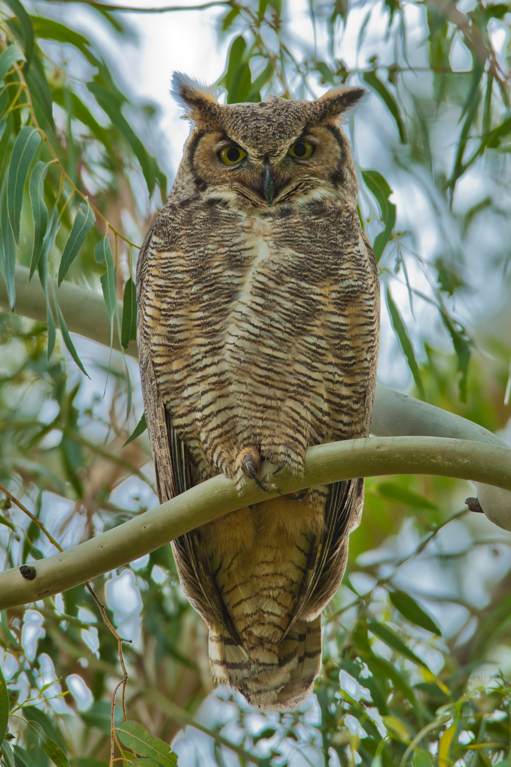 Great Horned Owl..美洲雕鸮