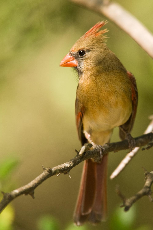 Female Northern Cardinal..雌性主红雀