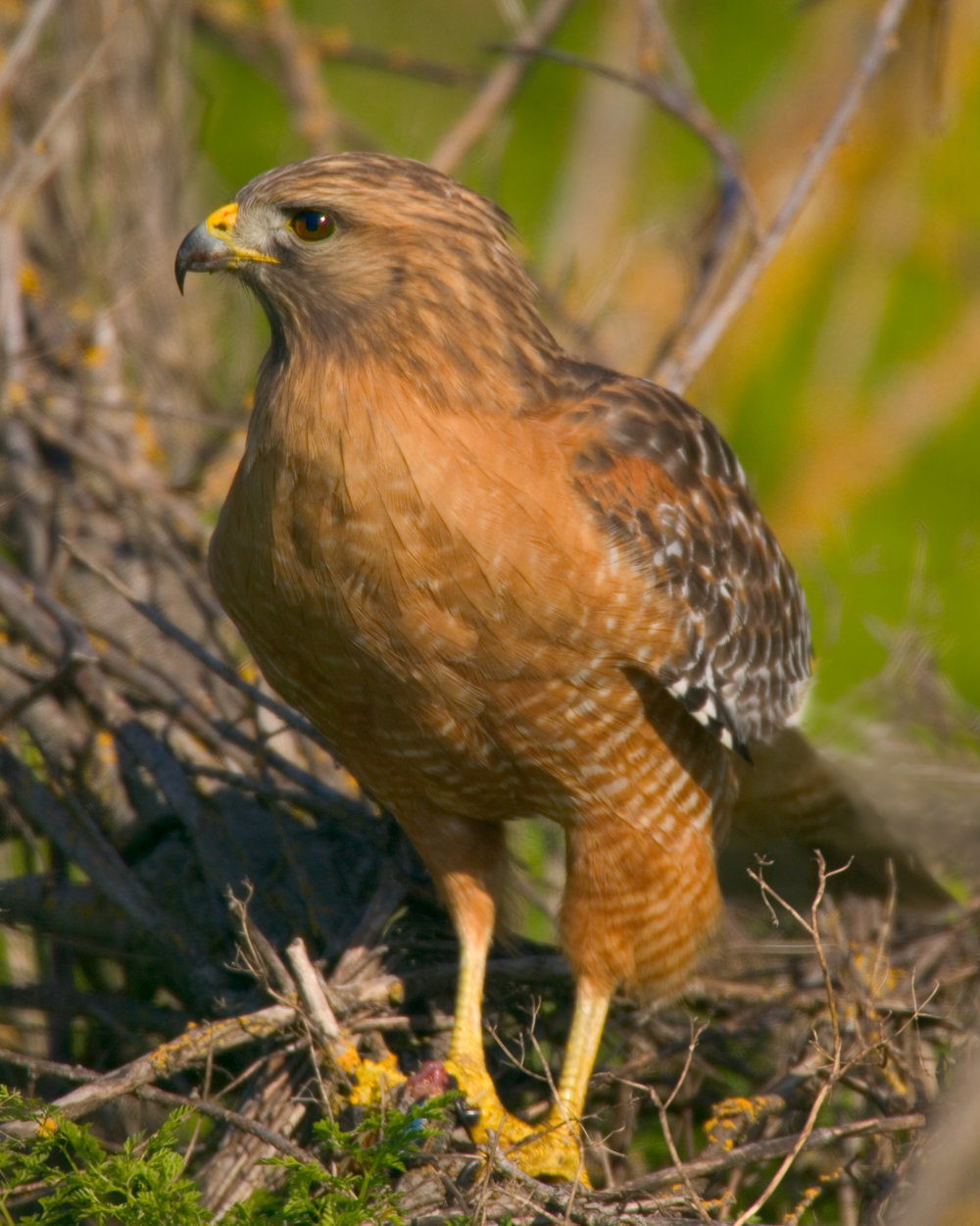Red-shouldered Hawk..赤肩鵟