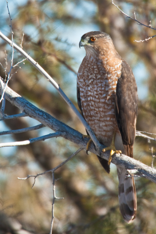 Cooper's Hawk..库氏鹰