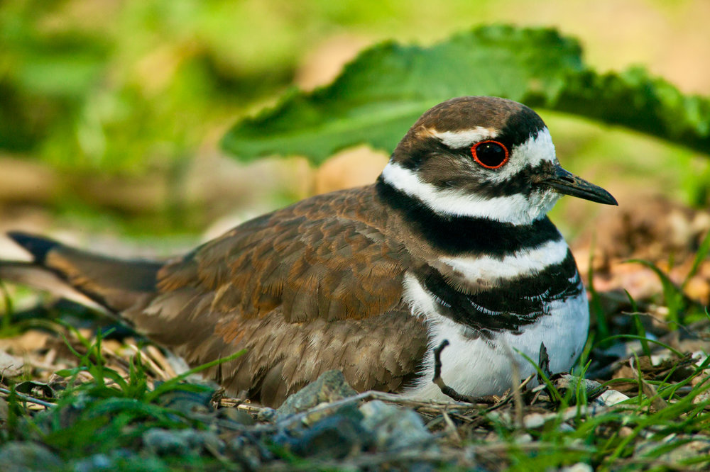 Killdeer..双领鸻