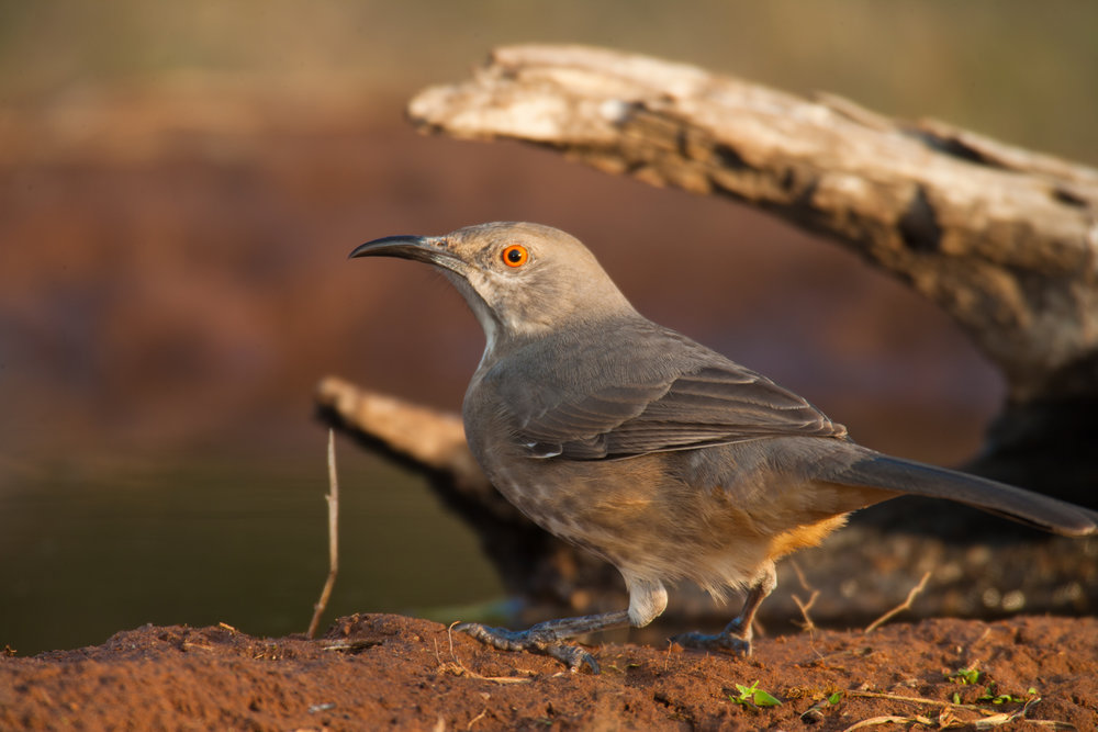 Curve-billed Thrasher..弯嘴嘲鸫