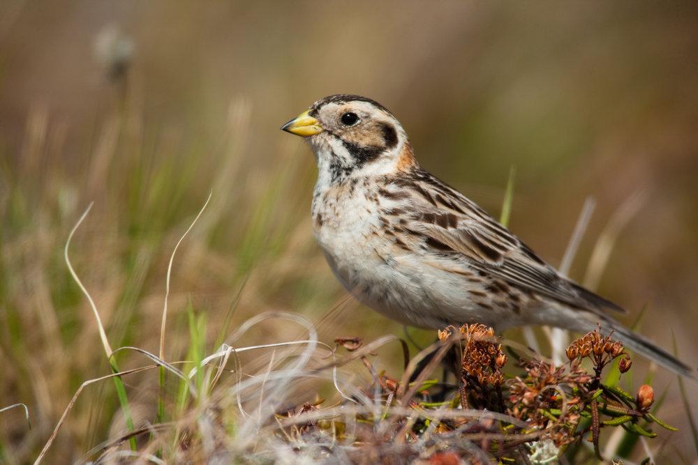 Lapland Longspur, female..雌性铁爪鹀