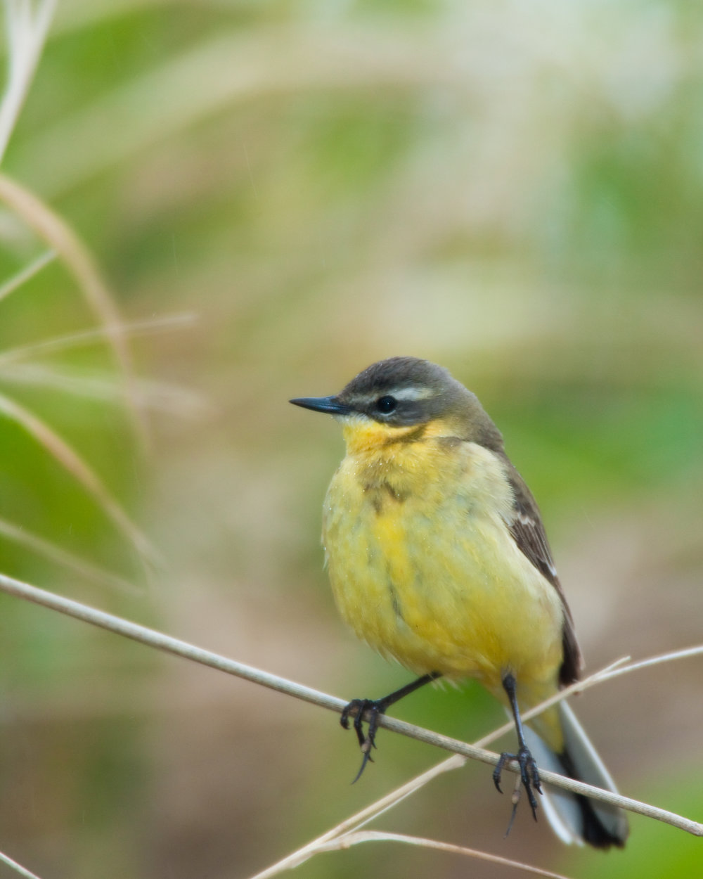 Eastern Yellow Wagtail, female..雌性黄鹡鸰