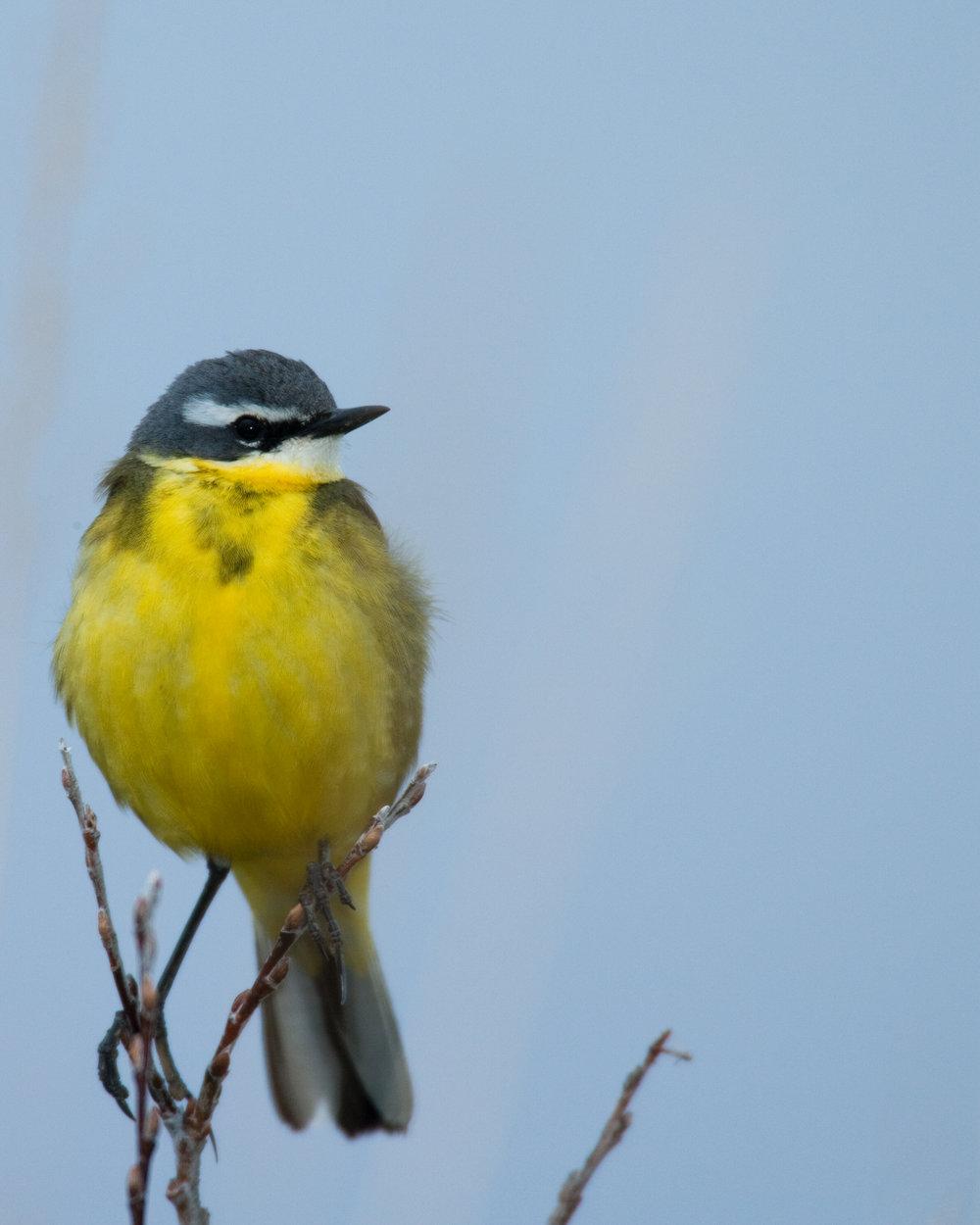 Male Eastern Yellow Wagtail..雄性黄鹡鸰