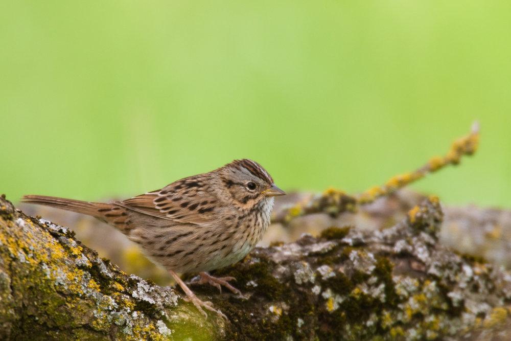 Lincoln's Sparrow..林氏带鹀
