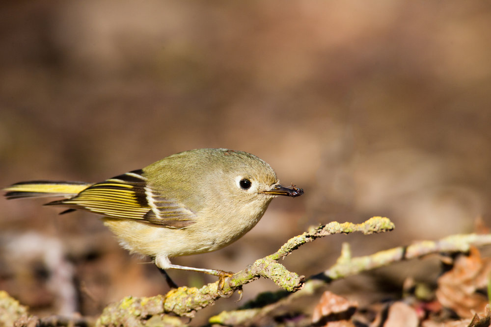 Ruby-crowned Kinglet..红冠戴菊