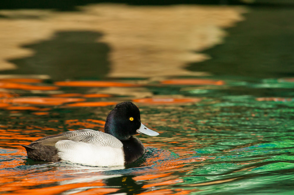Lesser Scaup, male..雄性小潜鸭