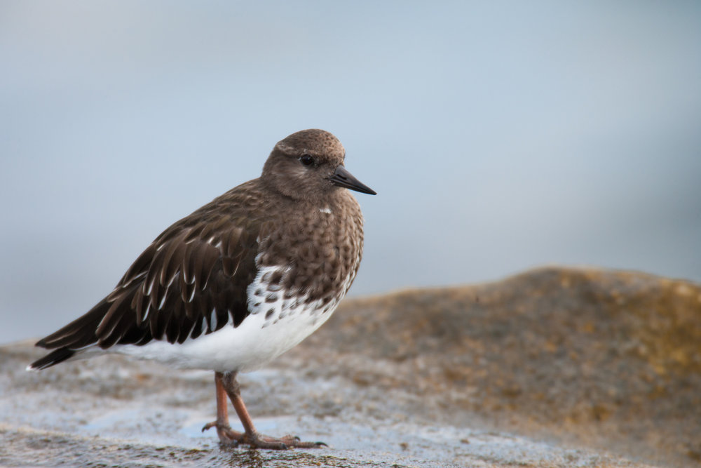 Black Turnstone..黑翻石鹬
